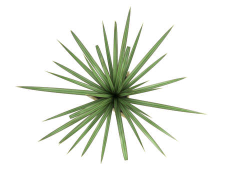 dioecious: Small Pandanus plant, a monocot dioecious shrub with evergreen leaves, growing in a pot as an ornamental foliage houseplant isolated on white