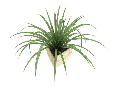 ornamental shrub: Small Pandanus plant, a monocot dioecious shrub with evergreen leaves, growing in a pot as an ornamental foliage houseplant isolated on white