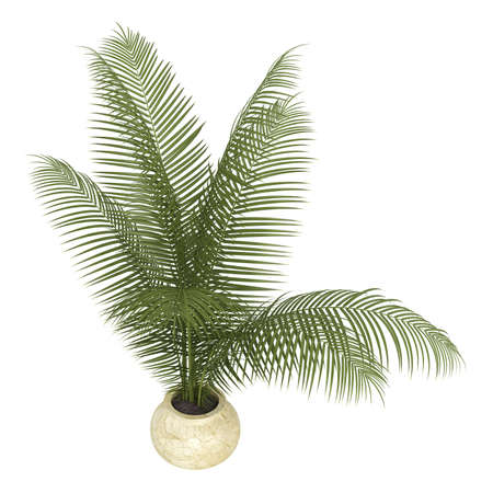 ornamental horticulture: Areca palm houseplant with multiple fronds growing in a small ceramic container isolated on white Stock Photo