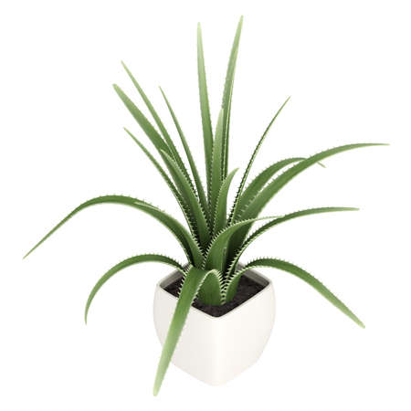 Century plant or Maguey, Agave americana, is an agave with grey-green leaves with spiky borders which dies after flowering seen here growing in a container isolated on white photo