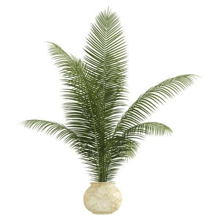 palm frond: Areca pianta d'appartamento palma con fronde pi� cresce in un piccolo contenitore di ceramica isolato su bianco