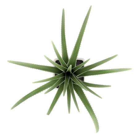 century plant: Century plant or Maguey, Agave americana, is an agave with grey-green leaves with spiky borders which dies after flowering seen here growing in a container isolated on white