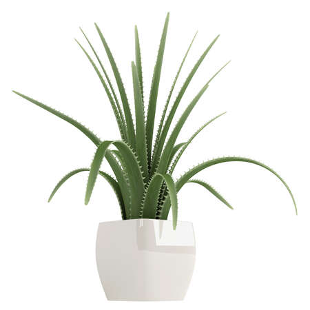 houseplant: Century plant or Maguey, Agave americana, is an agave with grey-green leaves with spiky borders which dies after flowering seen here growing in a container isolated on white