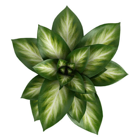 ornamental horticulture: Variegated Dieffenbachia leaves in a tall cylindrical container isolated on white for use to decorate a home interior Stock Photo