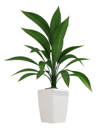 A healthy green leafy aspidistra grown as a common foliage houseplant isolated on white