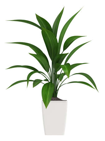 A healthy green leafy aspidistra grown as a common foliage houseplant isolated on white photo