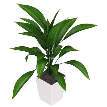 aspidistra: A healthy green leafy aspidistra grown as a common foliage houseplant isolated on white