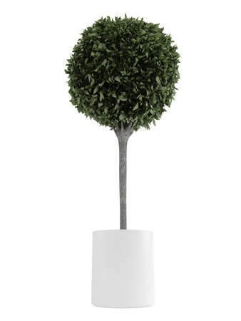 Myrtus, or myrtle, topiary tree carefully trimmed into a spherical crown in a container for use outdoors as a decorative garden element or indoors as a houseplant isolated on white Stock Photo