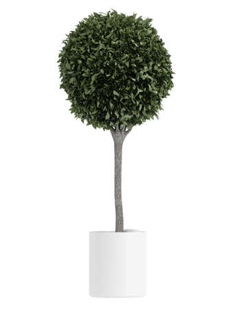 spherical: Myrtus, or myrtle, topiary tree carefully trimmed into a spherical crown in a container for use outdoors as a decorative garden element or indoors as a houseplant isolated on white Stock Photo
