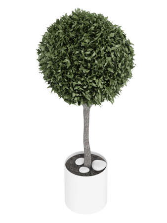 ornamental shrub: Myrtus, or myrtle, topiary tree carefully trimmed into a spherical crown in a container for use outdoors as a decorative garden element or indoors as a houseplant isolated on white Stock Photo