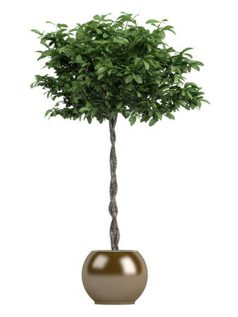 ornamental horticulture: Pachira or money tree with a braided trunk growing in a container as a symbol of good fortune in the house or business isolated on white