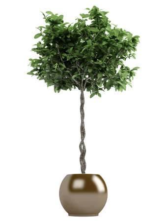 Pachira or money tree with a braided trunk growing in a container as a symbol of good fortune in the house or business isolated on white