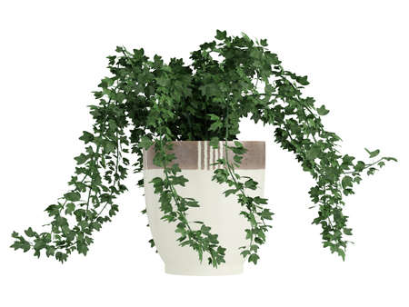trailing: Potted ivy plant trailing over the edges of a ceramic a container for use indoors as a decorative houseplant isolated on white