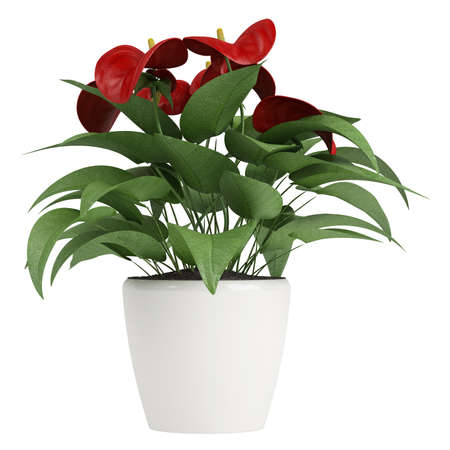 spadix: Anthurium flowers with a deep red spathe blooming on an indoor pot plant isolated on white Stock Photo