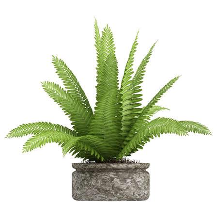 helechos: Nephrolepis helecho en maceta en un recipiente como una planta de interior follaje decorativo aislado en blanco