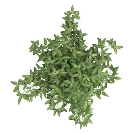 ornamental horticulture: Ornamental bambpoo houseplant in a white ceramic pot with several canes tioed together to produce a pretty leafy crown isolated on white Stock Photo