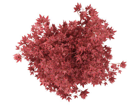 ornamental shrub: Red bonsai tree in a pot isolated on white background Stock Photo