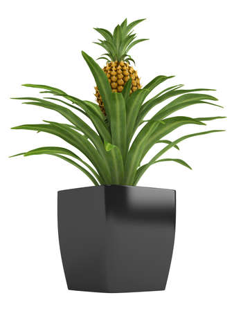 fruiting: Fruiting pineapple plant with a ripenng fruit potted in a container as an ornamental houseplant isolated on white Stock Photo