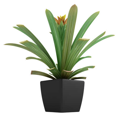 guzmania: Flowering guzmania plant potted up in a container as an ornamental houseplant isolated on white