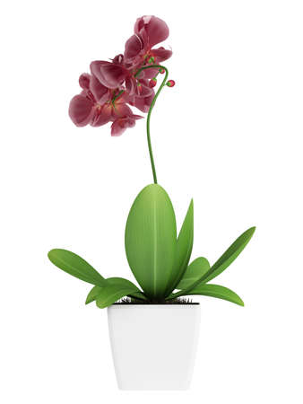 Beautiful spike of flowering purple phalaenopsis orchids on a potted indoor houseplant isolated on white photo