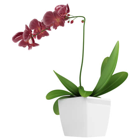 Potted plants: Beautiful spike of flowering purple phalaenopsis orchids on a potted indoor houseplant isolated on white Stock Photo