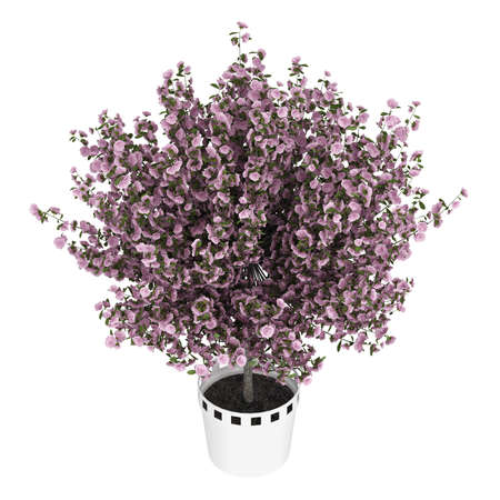 ornamental shrub: Studio shot of beautiful purple home plant isolated on white background
