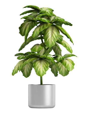 potting: Fresh branchy home plant in a pot isolated on white background