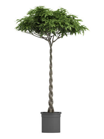 Pachira, otherwise known as the money tree, with a braided stem growing in a container for symbolic good luck in the house or business isolated on white photo