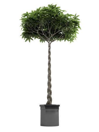 manicured: Pachira, otherwise known as the money tree, with a braided stem growing in a container for symbolic good luck in the house or business isolated on white