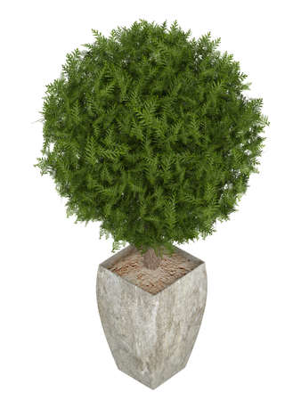 ornamental shrub: Evergreen cypress topiary tree in a container for use indoors as a houseplant or as a decorative landscaping plant in the garden isolated o white Stock Photo