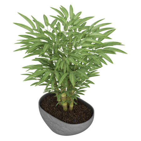 Ornamental bamboo growing in a container as a decorative houseplant isolated on white