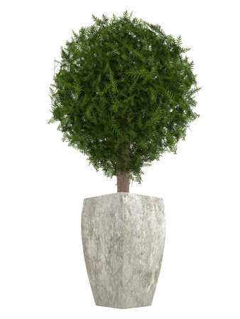 Evergreen cypress topiary tree in a container for use indoors as a houseplant or as a decorative landscaping plant in the garden isolated o white photo