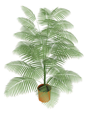 frond: A Chamaedorea palm with slender stems and pinnate leaves growing in a container isolated on white Stock Photo