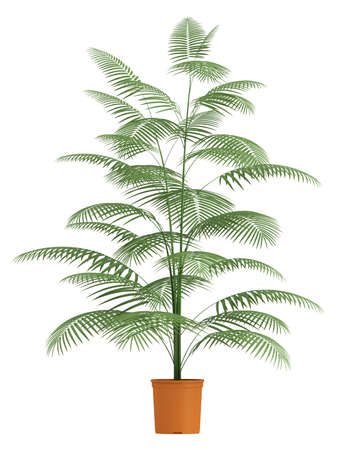 dioecious: A Chamaedorea palm with slender stems and pinnate leaves growing in a container isolated on white Stock Photo