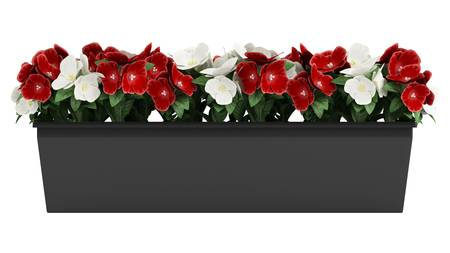 flowering plant: Window box of colourful red and white Madagascan Periwinkle flowers isolated on white Stock Photo