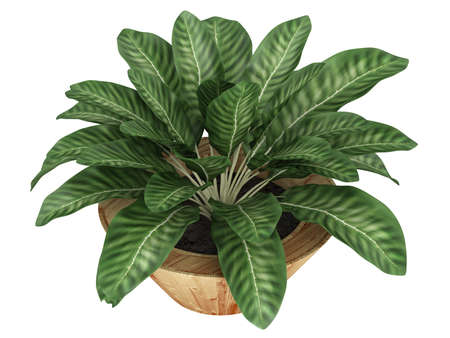 Dieffenbachia with variegated leaves growing in a wooden container as an ornamental houseplant isolated on white