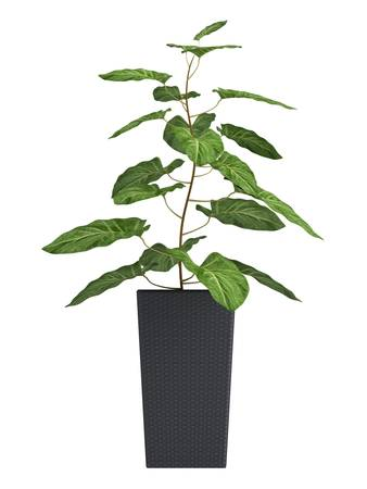 Potted plants: Ornamental Syngonium houseplant , a woody vine with arrowhead shaped leaves, in a black container isolated on white
