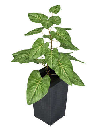 lobed: Ornamental Syngonium houseplant , a woody vine with arrowhead shaped leaves, in a black container isolated on white