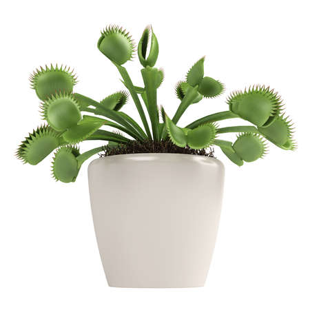 digesting: Venus Flytrap, Dionaea muscipula, which is a carnivorous plant that traps insects that touch the trigger hairs sealing them in hermetically and digesting them, isolated on white Stock Photo