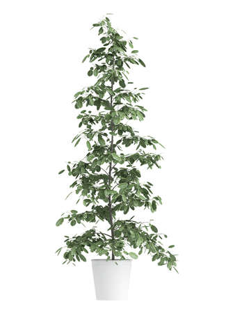 Tall ficus, or fig, growing in a white container as an ornamental houseplant isolated on white