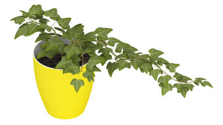 houseplant: Ivy plant growing in a cheerful yellow pot as a houseplant isolated on white Stock Photo