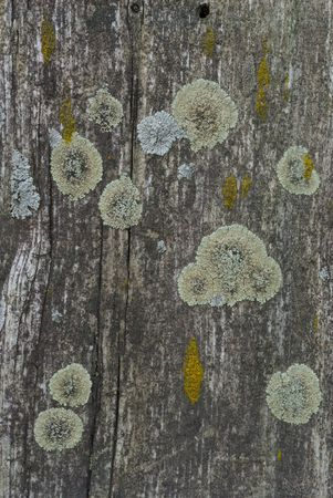 mustiness: Couple of lichens over old cracked wood plank Stock Photo