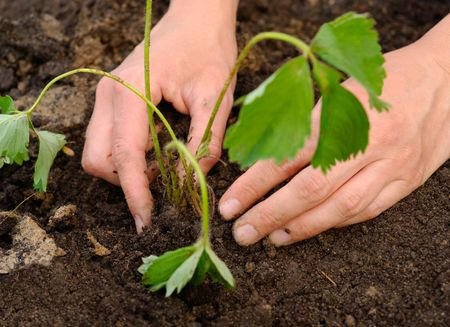 Woman hands carefully planting strawberry plant into soil Stock Photo
