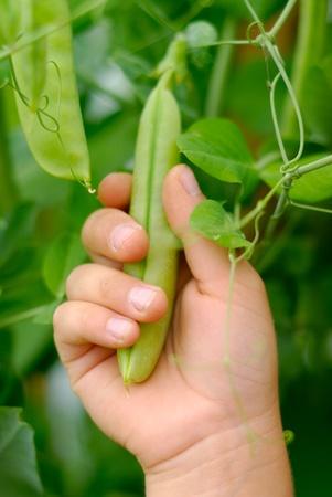 niños comiendo: La mano del niño con la vaina de guisante sobre las hojas verdes al aire libre Foto de archivo
