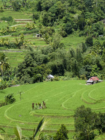 Island Bali - a green rice paddy field on hills with some buildings photo