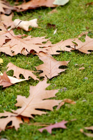 changing seasons: Scattered fallen dried brown autumn leaves on grass depicting the changing seasons in nature.