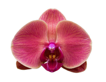 Orchid isolated on white background. Phalaenopsis or Moth kind. Single flower with warm pink petals and purple yellow lip. Floral design element for cards, invitations, posters.
