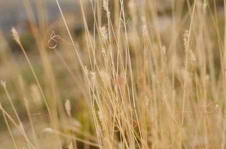 Yellow grass close up autumun photo