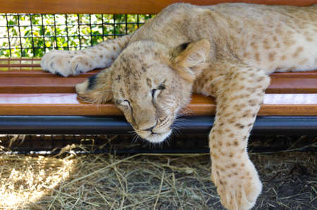 cat stretching: Exhausted young lion cub which has fallen asleep on a wooden bench in a park with its head and paw dangling over the edge