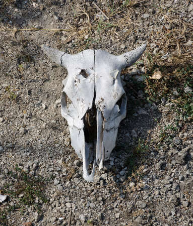 mortality: Bleached weathered cattle skull with horns intact lying on dry arid earth, a stark reminder of droughts, death and mortality Stock Photo